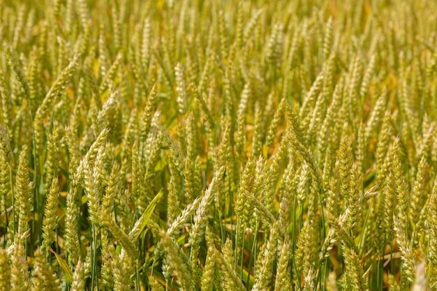 Champ de blé vert. fermer. scène rurale, récolte. contexte