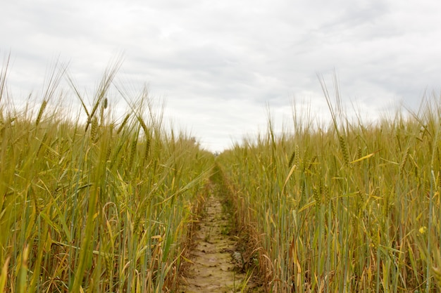 Champ de blé vert et journée ensoleillée. champ avec des oreilles