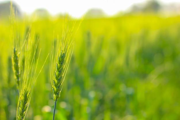 Champ de blé vert sous le ciel bleu