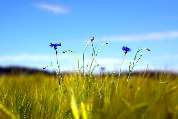 Un champ avec des bleuets et autres fleurs sauvages.