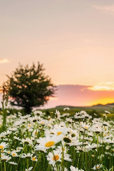 Champ de camomille au coucher du soleil