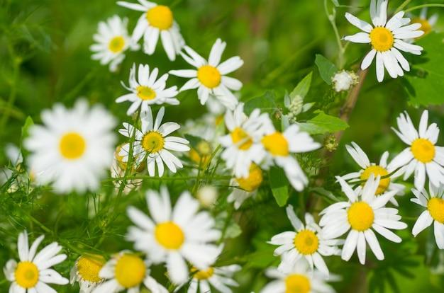 Champ de camomille en fleurs closeup