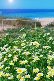 Champ de camomille et herbe verte sur la mer. pour les vacances.
