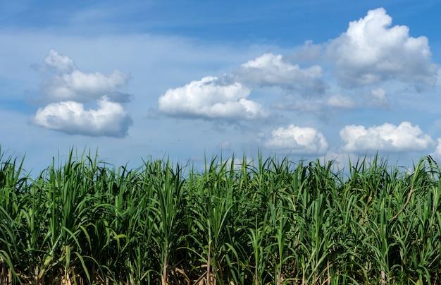 Champ de canne à sucre avec ciel bleu et nuage en thaïlande