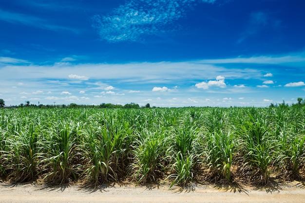 Champ de canne à sucre dans le ciel bleu et nuage blanc en thaïlande