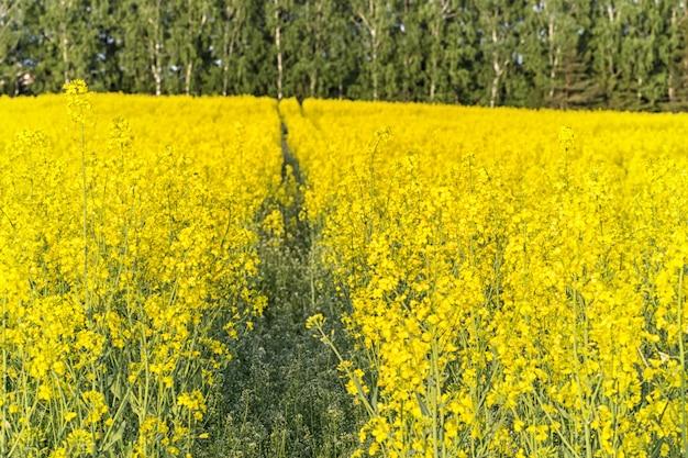 Un champ de canola jaune avec une piste de tracteur