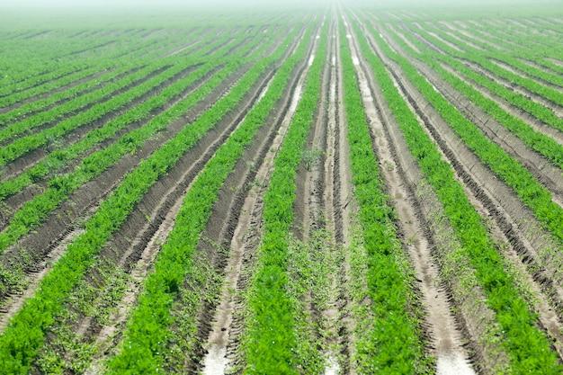 Champ à la carotte - champ agricole sur lequel poussent de jeunes carottes vertes.