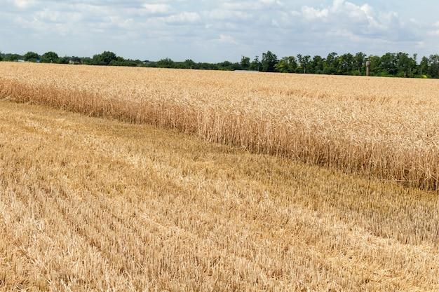 Champ de céréales, blé, céréales après la récolte