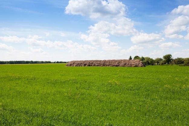 Champ avec céréales champ agricole sur lequel poussent les jeunes graminées