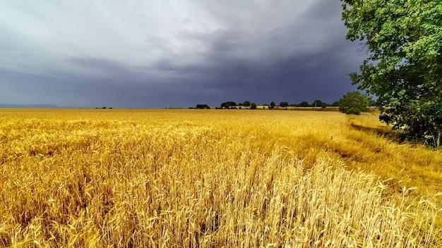Champ de céréales avec ciel orageux dramatique et arbres verts.