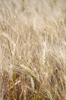 Champ de céréales dans le paysage rural.