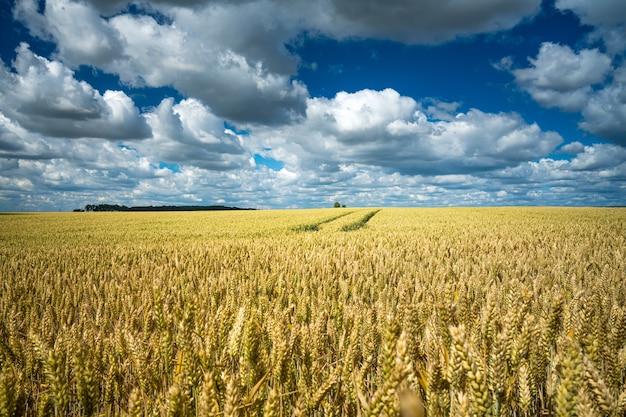 Champ de céréales d'orge sous le ciel plein de nuages