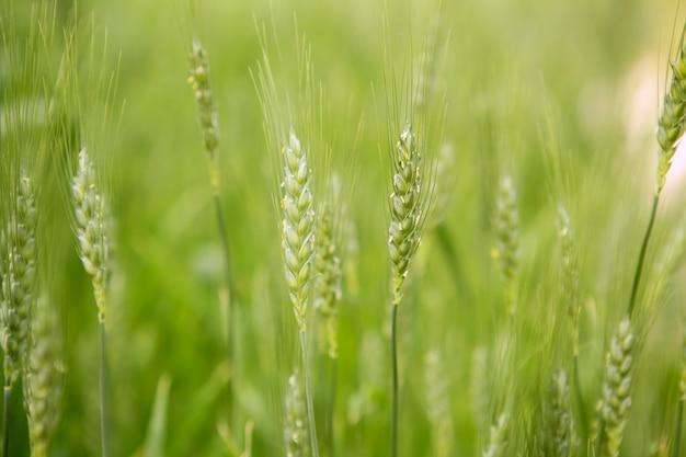 Champ de céréales vertes d'avoine sativa