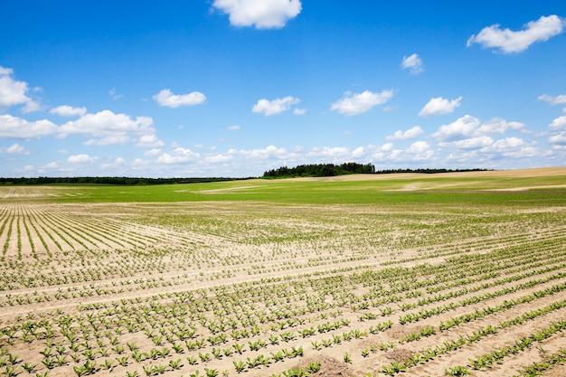 Champ avec champ agricole de betteraves sur lequel faire pousser des cultures de betteraves. printemps. germe. ciel bleu