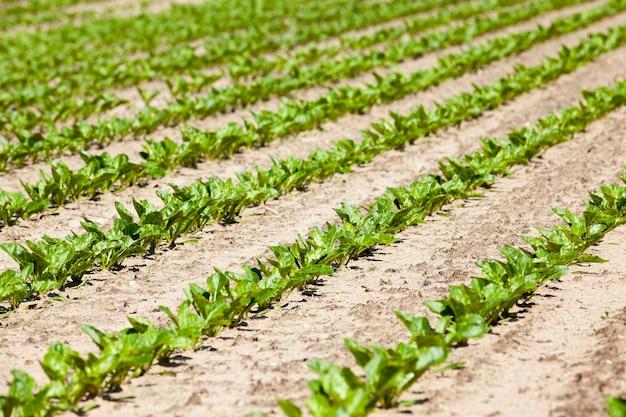 Champ avec champ agricole de betteraves sur lesquelles faire pousser des cultures de betteraves sprout de printemps