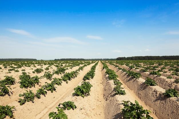 Champ avec champ agricole de pommes de terre où pommes de terre, pommes de terre vertes non mûres