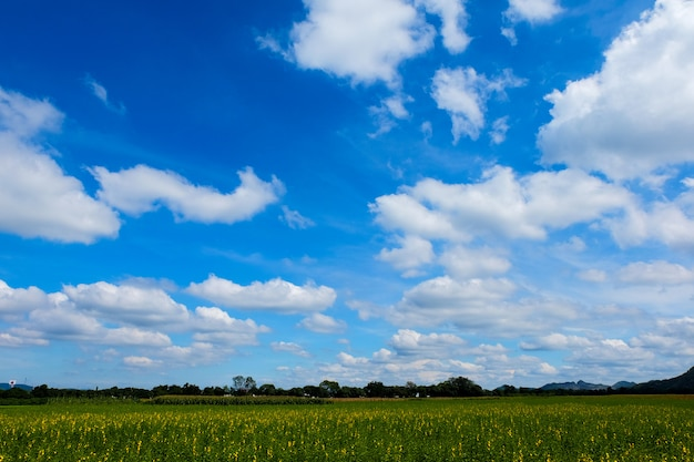 Champ de chanvre sunn avec beau ciel nuageux à la province de nakhon ratchasima, thaïlande.