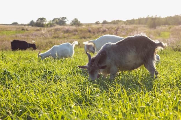Champ avec des chèvres mangeant à la ferme