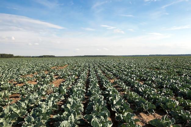Champ de chou, champ agricole de printemps sur lequel poussent le jeune chou vert, saison de printemps