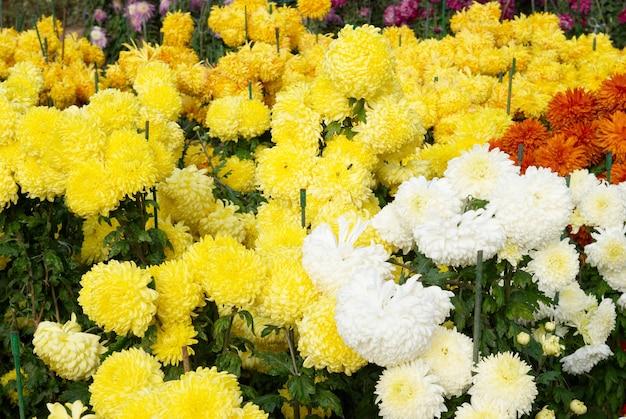 Champ de chrysanthèmes de différentes couleurs.