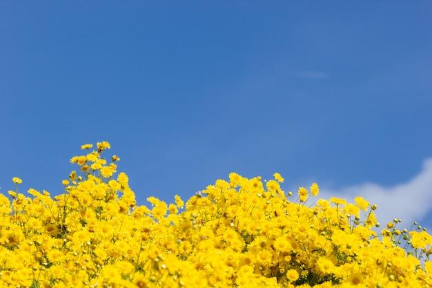 Champ de chrysanthèmes jaunes dans les nuages blancs et fond de ciel bleu