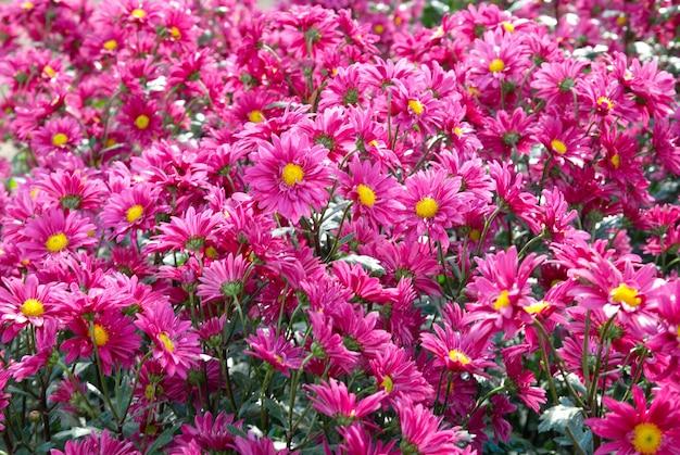 Champ de chrysanthèmes rose foncé.