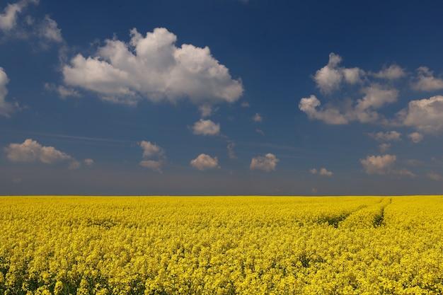 Champ avec colza jaune et ciel bleu