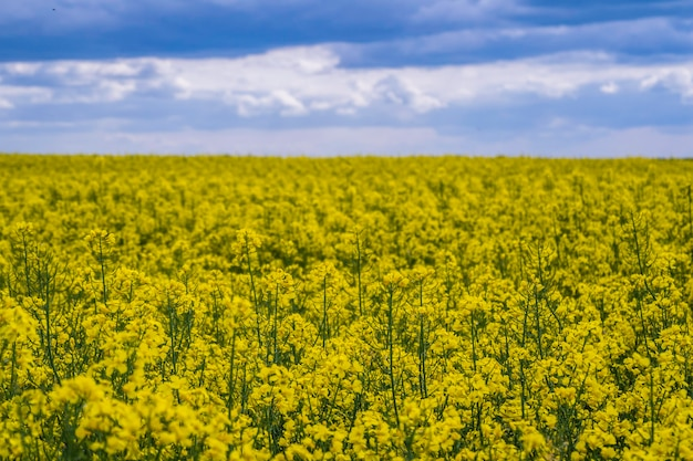 Champ de colza jaune contre fond de ciel bleu