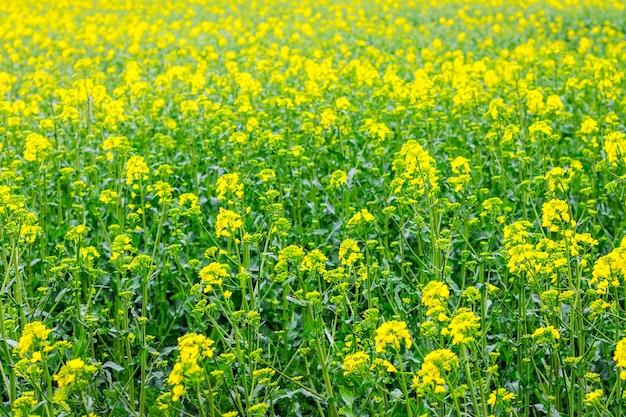 Champ de colza jaune-vert pendant la floraison, vue du dessus_