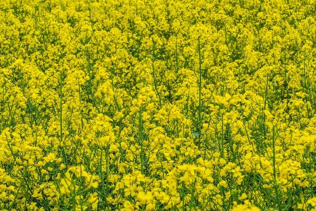 Champ de colza pour la production de biocarburant et d'huile de colza