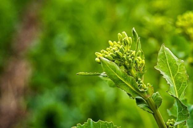 Champ de colza semé avec la technologie strip-till avant la floraison.