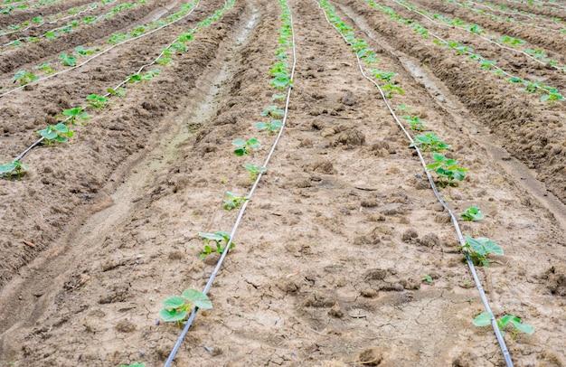 Champ de concombre poussant avec un système d'irrigation goutte à goutte.