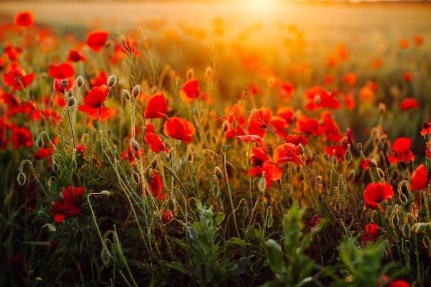 Champ de coquelicots rouges au coucher du soleil. flou artistique.