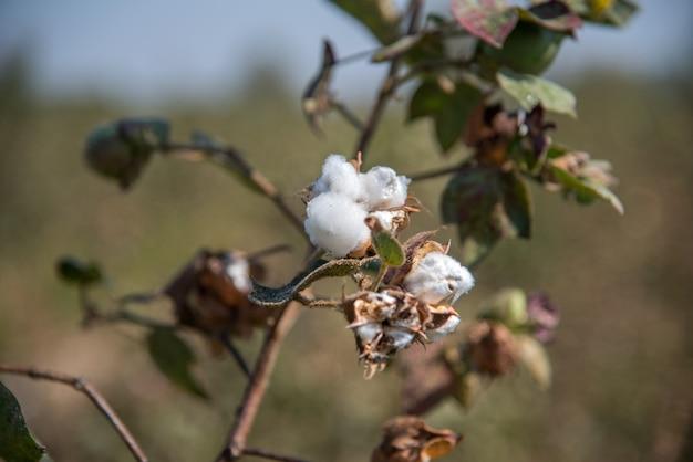 Champ de coton, gros plan de boules de coton et de fleurs.