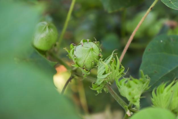 Champ de coton vert en inde