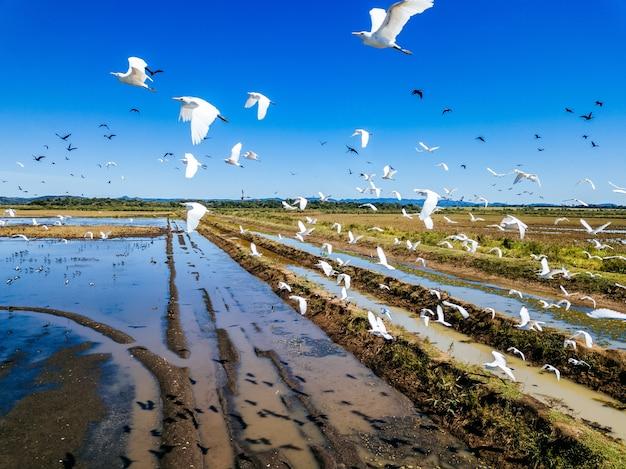 Champ couvert de verdure et d'eau avec des hérons de bétail volant au-dessus d'eux sous la lumière du soleil