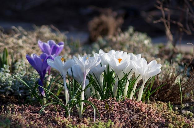 Champ de crocus, début du printemps, les premières fleurs
