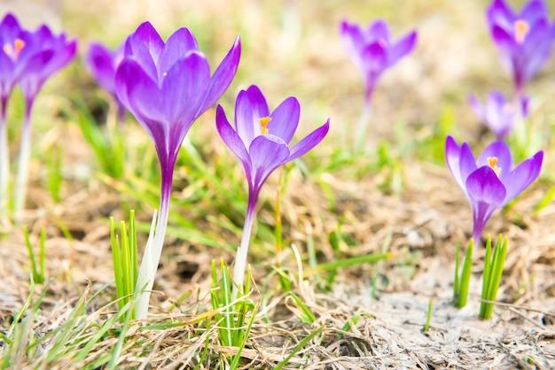 Champ avec des crocus de fleurs violettes printanières avec un fond doux