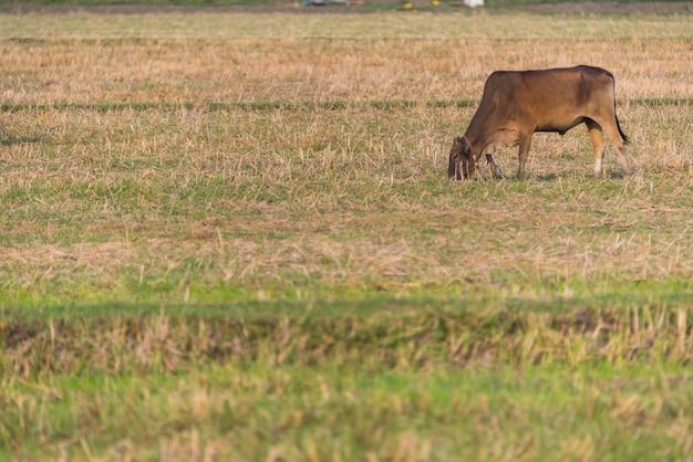 Champ d'élevage de bétail en thaïlande