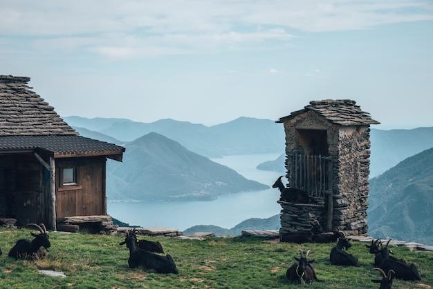 Champ entouré de bâtiments et de chèvres noires avec des collines et une rivière en arrière-plan