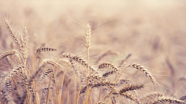 Champ avec des épis de blé mûrs jaunes un jour d'été, mise au point sélective, gros plan