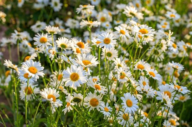 Champ d'été de marguerites en fleurs au soleil