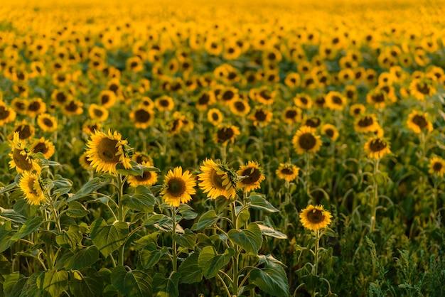 Le champ d'été des tournesols en fleurs