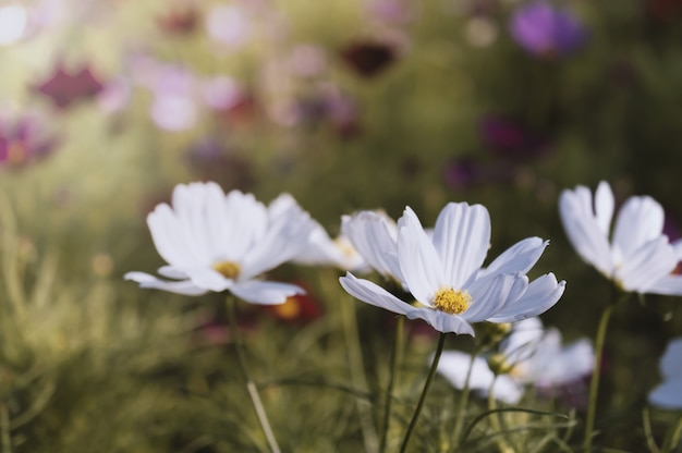 Champ de fleur cosmos