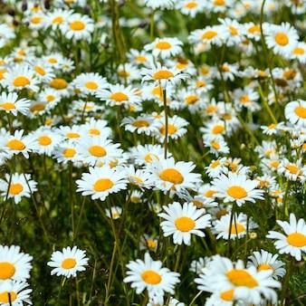 Champ fleuri de fleurs de camomille blanche