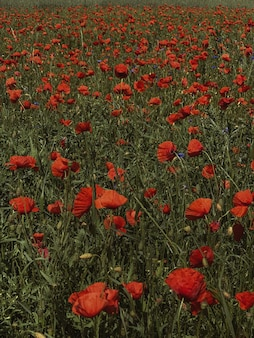 Champ de fleurs de beaux coquelicots rouges. fond naturel floral d'été