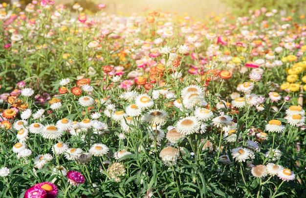 Champ de fleurs, belle de fleurs dans le jardinage d'arrière-plan, fleurs de jardin printemps saison ton chaud