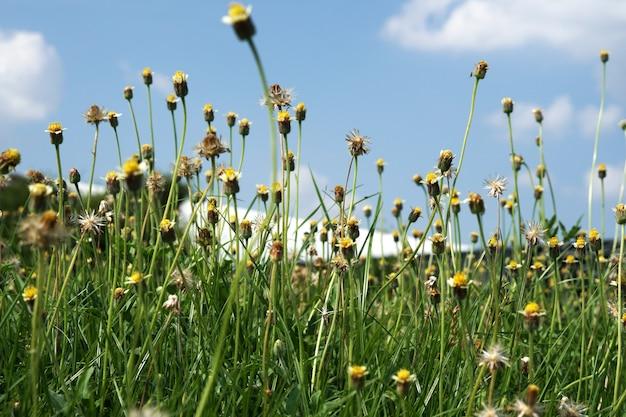 Champ de fleurs de boutons de manteau avec des nuages sur les fonds de ciel bleu dans le jardin public