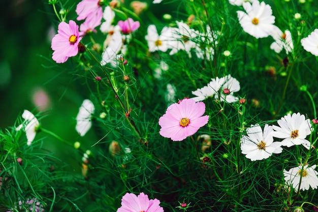 Champ de fleurs colorées de fleur cosmos