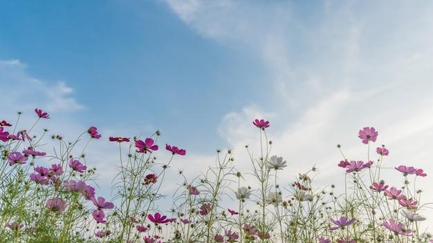 Champ de fleurs de cosmos avec un ciel bleu.
